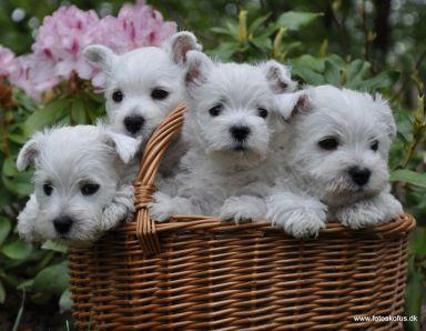 hundehvalpe til salg jylland
